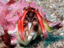 Laurent's Hermit Crab - Calcinus laurentae