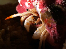 Small White Hermit Crab - Calcinus minutus