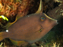 Wirenet Filefish - Cantherhines pardalis