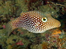 Spotted Sharpnosed Puffer - Canthigaster punctatissima