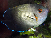 Pearl-Scaled Angelfish - Centropyge vrolikii