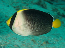Vermiculated Angelfish - Chaetodontoplus mesoleucus