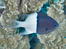 Half-and-Half Chromis - Chromis iomelas