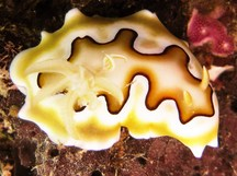 Co's Chromodoris - Goniobranchus coi
