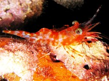 Reticulated Hinge-Beak Shrimp - Cinetorhynchus reticulatus