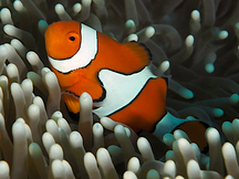 Clown Anemonefish - Amphiprion percula