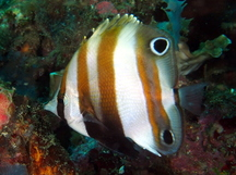 Two-Eyed Coralfish - Coradion melanopus