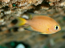 Darkfin Chromis - Chromis atripes