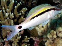 Dash-Dot Goatfish - Parupeneus barberinus