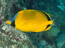 Dotted butterflyfish - Chaetodon semeion