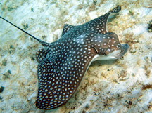 Spotted Eagle Ray - Aetobatus narinari