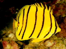 Eight-Banded Butterflyfish - Chaetodon octofasciatus