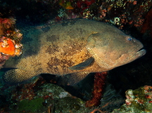 Brown-Marbled Grouper - Epinephelus fuscoguttatus