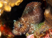 Leopard Blenny - Exallias brevis
