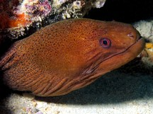 Giant Moray Eel - Gymnothorax javanicus