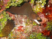 Goldentail Moray Eel - Gymnothorax miliaris