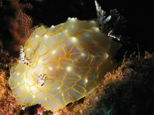 Gold-Lace Nudibranch - Halgerda terramtuentis