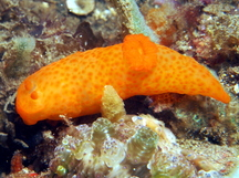 Unadorned Gymnodoris - Gymnodoris inornata