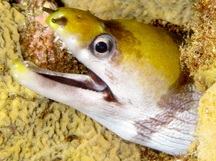 Yellow-Headed Moray Eel - Gymnothorax rueppellii