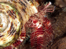 Hairy Red Hermit Crab - Aniculus erythraeus