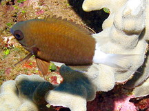 Hawaiian Bicolor Chromis - Chromis hanui