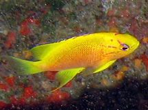 Hawaiian Longfin Anthias - Pseudanthias hawaiiensis
