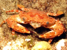 Hawaiian Swimming Crab - Charybdis hawaiensis