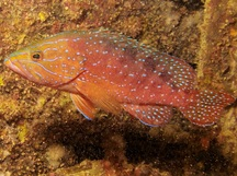 Highfin Coral Grouper - Plectropomus oligacanthus
