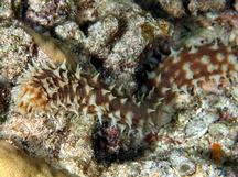 Light-Spotted Sea Cucumber - Holothuria hilla