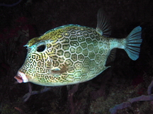 Honeycomb Cowfish - Acanthostracion polygonius
