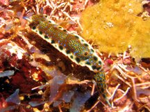 Purple-Spotted Sea Goddess - Hypselodoris marci