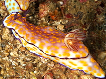 Beautiful Risbecia - Hypselodoris pulchella