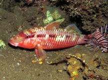 Indian goatfish - Parupeneus indicus