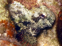 Jewelled Blenny - Salarias fasciatus