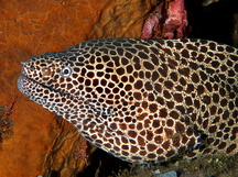 Laced moray Eel - Gymnothorax favagineus