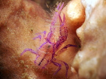 Hairy Squat Lobster - Lauriea siagiani