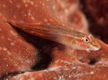 Wolfsnout Goby - Luposicya lupus