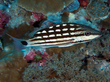 Checkered Snapper - Lutjanus decussatus