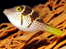 Mimic Filefish - Paraluteres prionurus