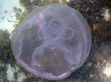 Moon Jelly - Aurelia aurita