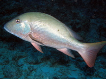 Mutton Snapper - Lutjanus analis