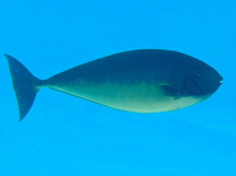 Sleek Unicornfish - Naso hexacanthus