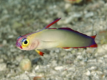 Decorated Dartfish - Nemateleotris decora