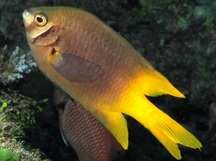 Black-and-Gold Damselfish - Neoglyphidodon nigroris