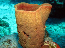 Netted Barrel Sponge - Verongula gigantea
