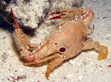 Ocellate Swimming Crab - Portunus sebae