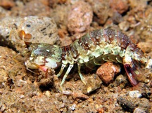 Pink-Eared Mantis Shrimp - Odontodactylus latirostris