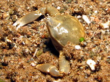 Olive Purse Crab - Leucosia pubescens