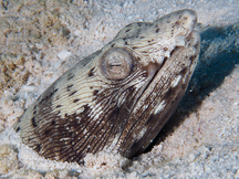 Spotted Snake Eel - Ophichthus ophis