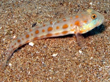 Orange-Dashed Goby - Valenciennea puellaris